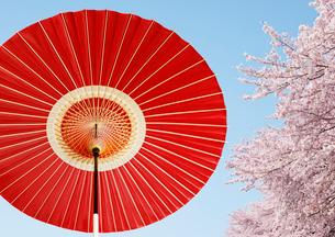 番傘と桜の写真素材 [FYI01725600]