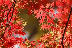 秋になり赤く紅葉したモミジの葉の写真素材 [FYI01725631]