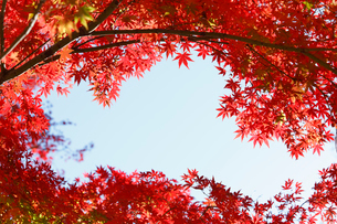 赤く紅葉したモミジの木の写真素材 [FYI01725714]