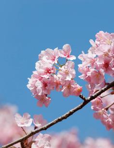 サクラ 河津桜の写真素材 [FYI01725739]