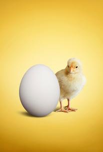 ヒヨコとニワトリの卵の写真素材 [FYI01725746]