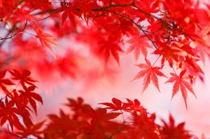 秋になり赤く紅葉したモミジの葉の写真素材 [FYI01725760]