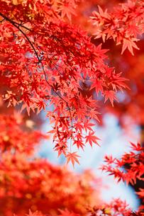 秋になり赤く紅葉したモミジの葉の写真素材 [FYI01725932]