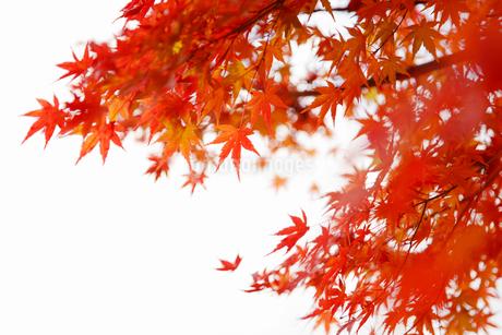秋になり赤く紅葉したモミジの葉の写真素材 [FYI01725939]