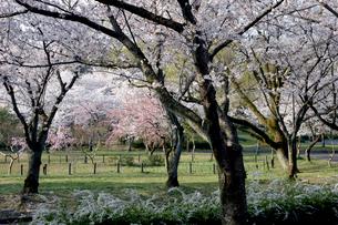 桜の咲く公演の写真素材 [FYI01726168]