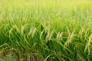 収穫時期の稲穂の写真素材 [FYI01726203]