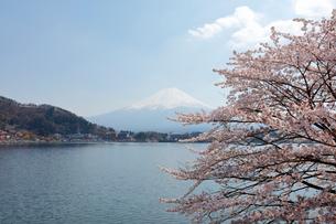河口湖湖畔からの桜と富士山の写真素材 [FYI01726257]