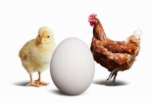 ニワトリとヒヨコと卵の写真素材 [FYI01726434]