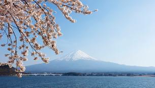 河口湖湖畔からの桜と富士山の写真素材 [FYI01726466]