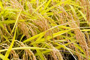 実った稲の写真素材 [FYI01726794]