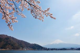 河口湖湖畔からの桜と富士山の写真素材 [FYI01727122]