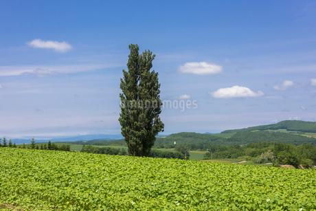 美瑛のケンとメリーの木の写真素材 [FYI01729617]