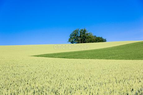 美瑛のマイルドセブンの丘の写真素材 [FYI01729667]