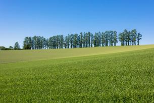 美瑛のマイルドセブンの丘の写真素材 [FYI01729766]
