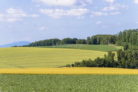 丘の町・美瑛の田園風景の写真素材 [FYI01730080]