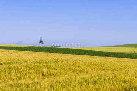 丘の町・美瑛の田園風景の写真素材 [FYI01730113]