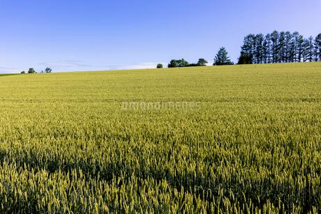 丘の町・美瑛の田園風景の写真素材 [FYI01730163]