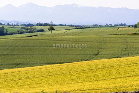 丘の町・美瑛の田園風景の写真素材 [FYI01730484]