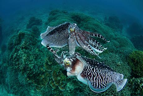 コブシメのケンカの写真素材 [FYI01730488]