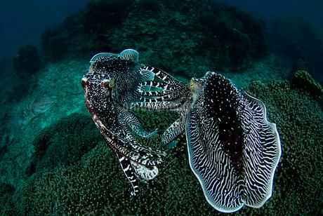 コブシメのケンカの写真素材 [FYI01730527]