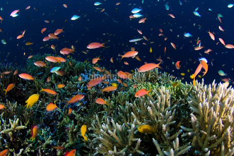 サンゴ礁から飛び出すアカネハナゴイの群れの写真素材 [FYI01730694]