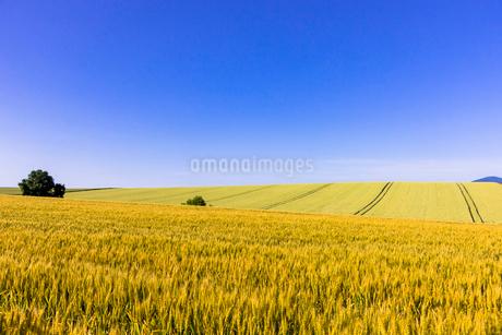 丘の町・美瑛の田園風景の写真素材 [FYI01730767]