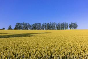 丘の町・美瑛の田園風景の写真素材 [FYI01731313]