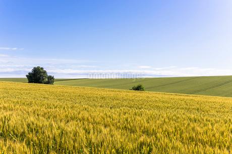 丘の町・美瑛の田園風景の写真素材 [FYI01731375]