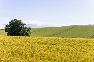 丘の町・美瑛の田園風景の写真素材 [FYI01731413]