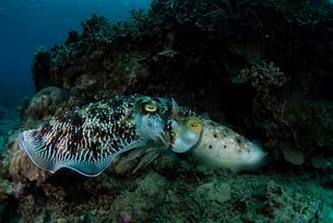 岩陰で交接するコブシメの写真素材 [FYI01731433]