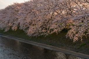 富士市・龍巌淵の満開の桜の写真素材 [FYI01731526]
