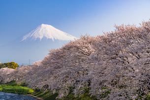 龍巌淵の満開の桜と富士山の写真素材 [FYI01731639]