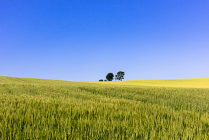 丘の町・美瑛の田園風景の写真素材 [FYI01731664]