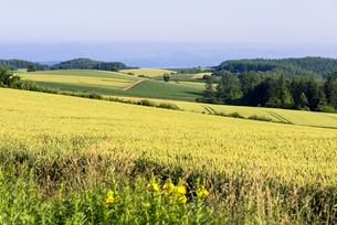 丘の町・美瑛の田園風景の写真素材 [FYI01731673]