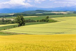 丘の町・美瑛の田園風景の写真素材 [FYI01731943]