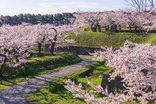 五稜郭公園の満開の桜の花の写真素材 [FYI01732167]