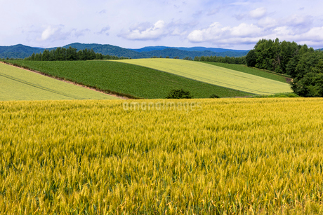 丘の町・美瑛の田園風景の写真素材 [FYI01732315]