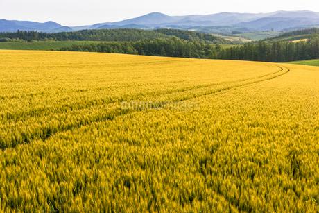 丘の町・美瑛の田園風景の写真素材 [FYI01732433]