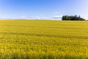 丘の町・美瑛の田園風景の写真素材 [FYI01732633]