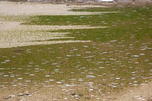 サクラの花びら流れる大谿川の写真素材 [FYI01732654]