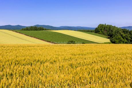丘の町・美瑛の田園風景の写真素材 [FYI01732807]