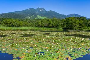 スイレン咲くいもり池と妙高山の写真素材 [FYI01733281]