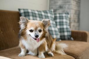 ソファに座る小型犬の写真素材 [FYI01734064]