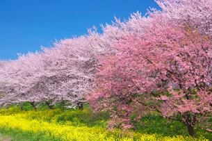 吉見桜堤公園の桜と菜の花の写真素材 [FYI01734077]
