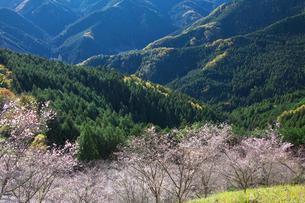 冬桜咲く桜山公園の写真素材 [FYI01734218]