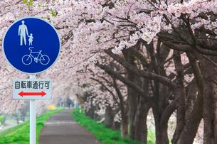 標識と桜の写真素材 [FYI01734289]