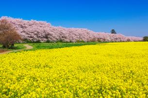 桜と菜の花咲く幸手権現堂堤の写真素材 [FYI01734332]