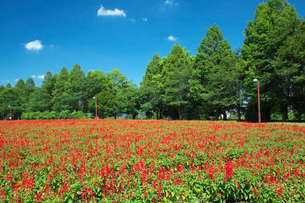 サルビア咲く大宮花の丘の写真素材 [FYI01734376]