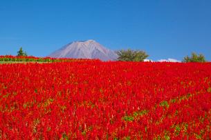 サルビア咲く鳥取花回廊と大山の写真素材 [FYI01734379]