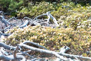 川湯硫黄山のイソツツジとハイマツの写真素材 [FYI01734414]